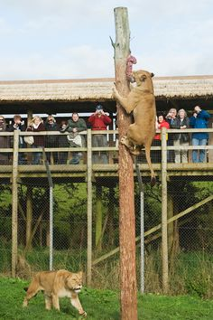 wild animal enrichment images | ... leo), Zoo behavioural enrichment. South Lakes Wild Animal Park, UK