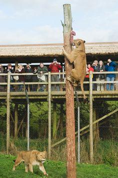 wild animal enrichment images | ... leo), Zoo behavioural enrichment. South Lakes Wild Animal Park, UK