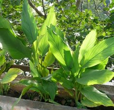Turmeric Tubers Roots Rhizome For Sale Turmeric Plant, Turmeric Root, Where To Buy Turmeric, Plant Sale, Mother Earth, Health Tips, Herbalism, Plant Leaves, Medicine