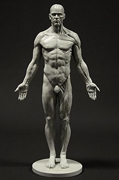 Male Anatomy Figure 11 inch Anatomical Reference for Artists Grey Neutral Pose Figure Drawing Models, Human Figure Drawing, Figure Drawing Reference, Human Anatomy Drawing, Body Drawing, Body Anatomy, Anatomy Art, Human Reference, Anatomy Reference