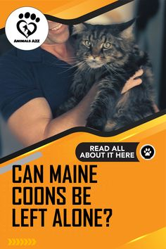 With such highly sociable personalities, it's not surprising that a lot of cat enthusiasts ask if Maine Coons can be left alone. Known as the 'dog of . Information About Cats, Popular Cat Breeds, Stress And Depression, Kitten Care, Lots Of Cats, Like A Cat, Left Alone, Cat Behavior, Maine Coon Cats