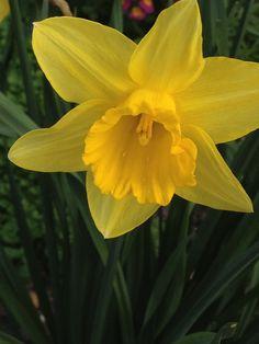 Daffodil 2014