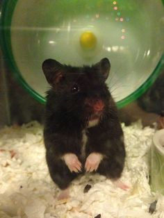 Black bear hamster So cute Bear Hamster, Hamster Care, Hamster Toys, Gerbil, Cute Baby Animals, Animals And Pets, Funny Animals, Cool Pets, Cute Dogs