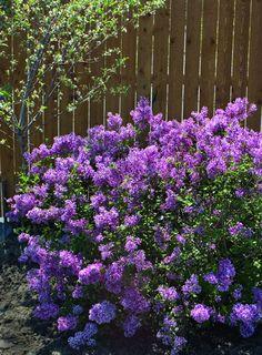 Bloomerang lilac!