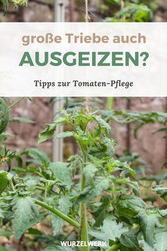 Tomatenpflanzen ausgeizen   Tipps zur Tomaten-Pflege! Ob Freiland oder Gewächshaus: Wer sich gesunde Tomaten und eine leckere Ernte aus dem eigenen Garten wünscht, sollte seine Tomatenpflanzen regelmäßig ausgeizen. Wie du richtig ausgeizt, wie du die Geiztriebe findest, und welche Ausnahmen es beim Ausgeizen gibt (z.B. Buschtomaten oder Zwergtomaten) erkläre ich dir in meinem neuen Video! #Tomaten #Selbstversorgung #Wurzelwerk Aesthetic Sense, Plant Decor, Landscape Design, Garden Tools, Wedding Planner, The Creator, Home And Garden, Herbs, Backyard