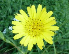 Goat s Beard ★ Wildflower ★ *Jack-go-to-Bed-at-Noon* ★Drought Tolerant★ 25 Seeds