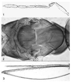 Parasitoides oófagos de Taosa spp. (Hemiptera: Dictyopharidae) en Formosa, Argentina, y descripción de dos nuevas especies