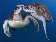 Two green turtles were spotted sharing an intimate embrace off the coast of Tenerife in the Canary Islands