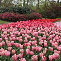 Stunning tulip garden in Keukenhof #flowerslovers #amsterdam #keukenhof #tulips #springtime #lisse by chalorte11