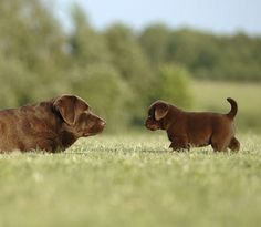 I'm not saying the adult chocolate Labrador Retriever isn't cute, but the chubby puppy is outshining the (mom? dad?) adult one.