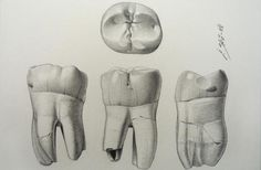 Ilustración científica: los dientes de Atapuerca [Fotogalería] – Paleontología – Noticias, última hora, vídeos y fotos de Paleontología en lainformacion.com