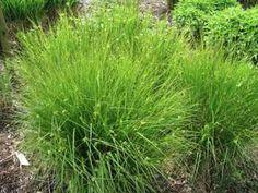 Grassenerf - foto's van siergrassen.