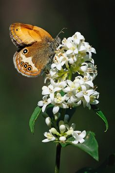 The Pearly Heath (Coenonympha arcania) is a butterfly species belonging to the family Nymphalidae. It can be found in Central Europe. It resembles Coenonympha hero. The butterflies fly in one generation from May to August. The larvae feed on various grasses