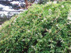 Rdestówka Auberta silnie rosnąca (do 6 m rocznie) idealna na słoneczne stanowiska
