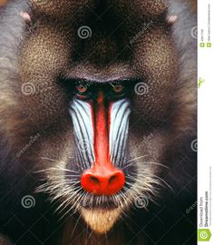 Image result for mandrill front on