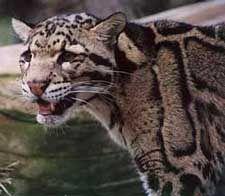 The Wildcat Sanctuary welcomes Scarlet, a rare, endangered clouded leopard, home for the holidays!  You can help sponsor Scarlet or one of the other endangered cats currently at the sanctuary:)