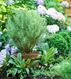 Rosemary - This shrubby evergreen is hardy to Zone 7. Train it to grow upright as a treelike standard or a large shrub; or select a trailing form to grow down a wall or as a groundcover. Rosemary grows well in containers, and you can bring it indoors over winter in cold climates. Grow rosemary in a hot, dry, sunny location.