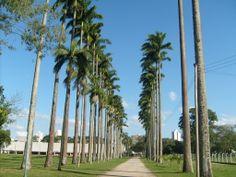 As belas palmeiras imperiais do Parque da Cidade