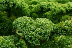 The health benefits of kale make it one of the most common ingredients found in green superfood brews! Here are 7 kale health benefits and more info! Superfoods, Col Kale, Harvesting Kale, Green Superfood, Planting Vegetables, Growing Veggies, Winter Vegetables, Eating Organic, Broccoli