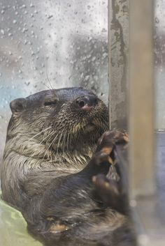 Sleepy otter hangs onto the windowsill so he doesn't float away while he snoozes - April 24, 2013