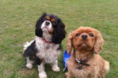 Spaniels !!!! Dog Walker Balham SW12 www.harrisons-dogs.co.uk