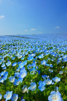 Blue Hill (Nemophila), Fukuoka, Japan #ネモフィラ #Nemophila