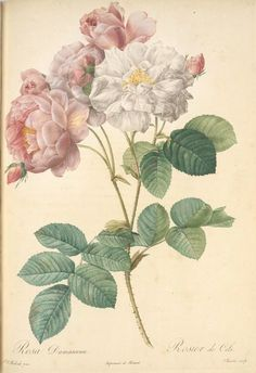 Rosa Damascena; Rosiier damascéne 'Celestiana'  [Rosa x damascena Miller 'Celsiana'] (1817-1824)  another Pierre J Redoute illustration