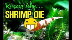 TOP REASONS WHY SHRIMP DIE! - YouTube