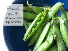 How to Plant Spring Peas