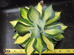 Agave isthmensis 'Rum Runner' with 5 pups