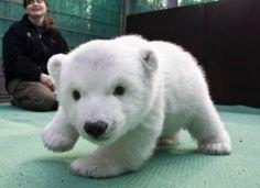 baby polar bear!!!!!!!!!!!!