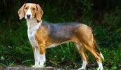 deutsche bracke or german hound