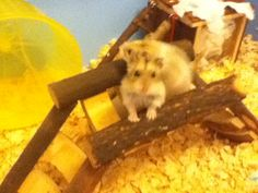 Biggie and Littley #hamsters