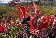 Riekonmarja . Arctostaphylos alpina,   tuntureilla on the northern mountains, berries good for juice and jam