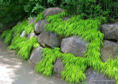 Japanese Forest Grass 'All Gold'. One of many plants from the Rotary Botanical Japanese Rock Garden, Asian Garden, Japanese Garden Design, Japanese Garden Ornaments, Japanese Garden Plants, Japanese Garden Landscape, Garden Shrubs, Shade Garden, Gravel Garden