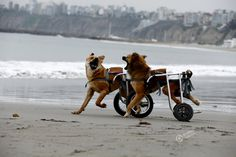 Disabled dogs are playing