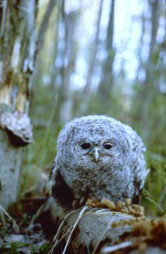 Cute Strix aluco-Tawny Owl