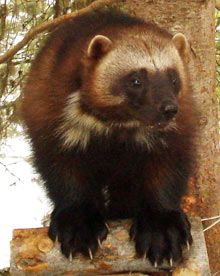 Endangered wolverines threatened by climate change.