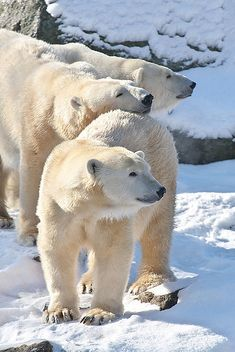 Polar bears - http://www.facebook.com/pages/Protégeons-les-ours/315306851859572
