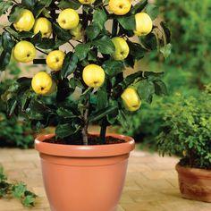 Árvores frutíferas em vasos - http://www.nutriplan.com.br/novidades/ptb