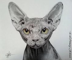 sphynx cat, drawing by lorine angelmann