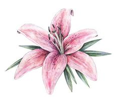 Pink lily flowers isolated on white background. Informations About Pink lily flowers isolated on white background. Lilly Flower Drawing, Lilies Drawing, Flower Sketches, Flower Art, Hawaiian Flower Tattoos, Lily Flower Tattoos, Watercolor Background, Watercolor Flowers, Floral Tattoos
