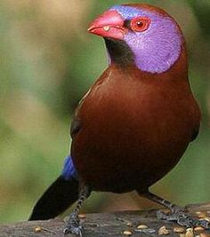 Violet-eared waxbill, Uraeginthus granatinus, a common species of estrildid finch. Southern Africa