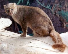 The Gulf Coast Jaguarundi are an extremely rare species of cat, found only in specific parts of Northern America  in the Western Gulf coastal grasslands of southern United States and Northwestern Mexico. These highly endangered weasel-like wild cats are on the brink of extinction, as more and more of their natural habitat is destroyed.