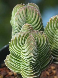 Esta peculiar crasulácea es el resultado de la hibridación de la crassula pyramidalis y la crassula perfoliata var. minor.