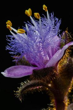 Cyanotis kewensis close on Flickr. If you look closely at the purple hairlike structures they are actually like a string of translucent glass beads.
