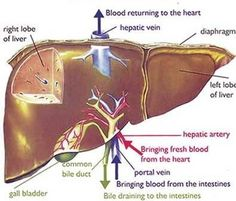 Liver Pain symptoms ,its causes and typical locations of liver pain. Liver, one of the vital organs of the body, is located on the right side of the stomach protected by the ribs. Liver Detox Drink, Best Liver Detox, Liver Detox Cleanse, Kidney Cleanse, Liver Detox Symptoms, Liver Anatomy, Natural Liver Detox, Digestive Detox, Liver Detoxification