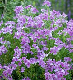 Nemesia Flowers, Beautiful Gardens, Beautiful Flowers, Lilac, Purple, Flower Quotes, Cool Plants, Container Plants, Vintage Flowers