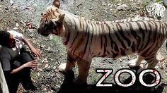 This is the moment when a terrified trespasser stared death right in the face. The crouching man was killed by the tiger at the New Delhi zoo on Tuesday after. Tiger Attack, Animal Attack, New Delhi, 22 Years Old, Year Old, Delhi India, Zoo In India, Man Kill, Tigers