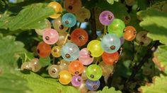 """Amla Meyvesi yada Bektaşi Üzümü Nedir? Bektaşi üzümüingilizce Gooseberry olarak bilinir. Ülkemizde de yetişebilen bektaşi üzümünün anavatanı Hindistandır ve """" Amla """" meyvesi olarak da bilinir. Yo…"""
